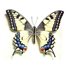 http://www.realbutterflygifts.com/insects/japanese-butterfly-papilio-machaon-female