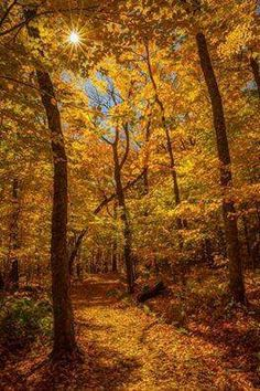 Golden Autumn (Mont-Tremblant, Quebec) by Rony Chidiac / Fall Pictures, Nature Pictures, Scenic Photography, Nature Photography, Beautiful Places, Beautiful Pictures, Autumn Scenes, Tree Forest, Forest Trail