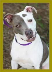 Happy is an adoptable Pit Bull Terrier Dog in Portsmouth, VA. Hi - I'm Happy. I mean, I am Happy, but my name is also Happy. I'm a female, grey and white pit mix that is about a year old. I have LOTS ...