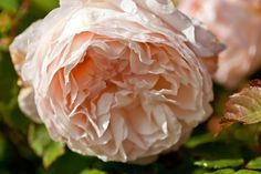 Abraham Darby, a David Austin rose, in full bloom. Country Style, photography Claire Takacs.