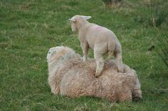 Waiting for the ride to begin.......Morchard Road sheep, Devon 090409 by Tewkes, via Flickr