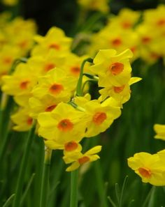 Tazetta Narcissi - Daffodils & Narcissi - Autumn Planting - Bulbs, plants and more