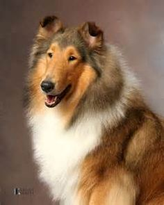 Beautiful sable Collie | Dogs | Pinterest