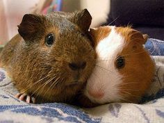 They look almost exactly like my guinea pigs...