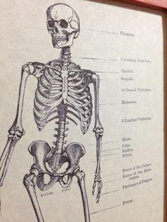 Vintage Skeletal Anatomy Art Print - Antique Human Skeleton Figure - Scientific Anatomical Book Art