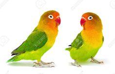 Fischer's Lovebirds (Agapornis fischeri)
