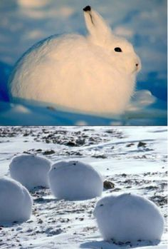 Snow Bunnies, look at the little black tipped ears!!!