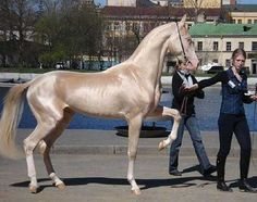 This is the supermodel of the horse world: a breed known as the Akhal-Teke. It's one of the most visually striking breeds.