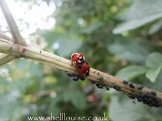 Shell Louise: Macro Monday - ladybirds :)