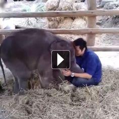 Dans la catégorie animaux mignons, on demande ce bébé éléphant de trois mois qui a littéralement fait fondre le coeur des internautes...