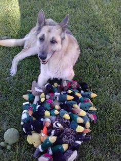 My dog tore apart every toy. Duke & a years worth of duck's heads