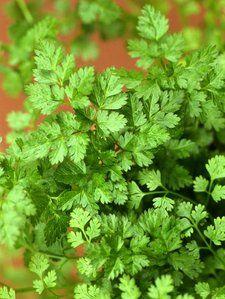 Fiche plante : Cerfeuil acide folique