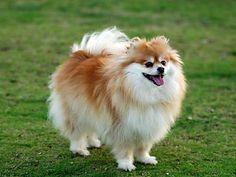 Dogs 101 pomeranian