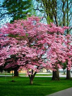 Buy Cherokee Brave Dogwood Tree Online. Arrive Alive Guarantee. Free Shipping On All Orders Over $99. Immediate Delivery.