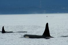 See the southern resident orcas, especially my adopted orca, Gaia (L-78)