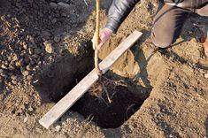 Cu prilejul plantării unui nou pom se pot face multe greşeli, însă următoarele 9…