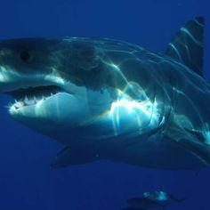 Predador que engoliu tubarão branco inteiro é identificado