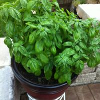 7 tips for growing mad giant basil plants | Offbeat Home