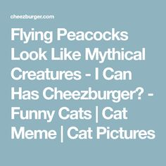 Image Result For Beautiful Rare White Blue Peacock Peacocks - Flying peacocks look like mythical creatures