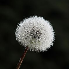 Dandelion Universe