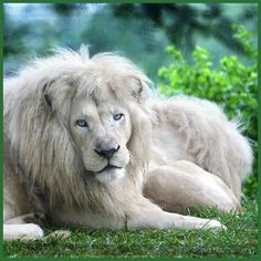 white lions are not albinos