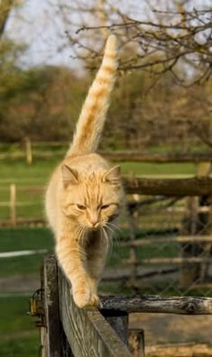 Ginger cat walking on top of a fence