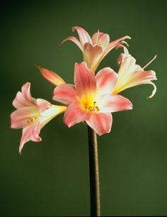 Amaryllis Belladonna Bulbs   ... indoor amaryllis the amaryllis belladonna can be planted outdoors