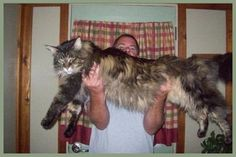 """Diva, A Huge Maine Coon Cat! Thinks She's Still a Kitten"". I wonder if she lives up to her name. She's bigger than some dogs!"