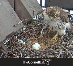 March 19, 2013 - Ezra adds a new stick to the nest   Watch the Cornell bird cams live here: http://cams.allaboutbirds.org/