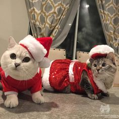 That awkward moment when @white_coffee_cat steals your look. Happy #pawlidays from @petsmart & @nala_cat! #catsofinstagram #sponsored [source: http://ift.tt/22eDBz8 ]