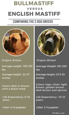 Difference between Bullmastiff and English Mastiff - infographic