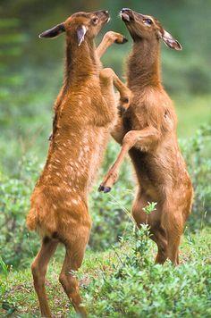 Elk Calves sparring