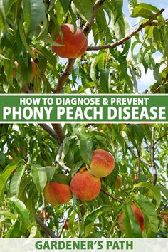 Every type of peach is susceptible to phony peach disease, which results in compact bushy trees that stop producing fruit. There is no cure, and you will have to destroy infected trees. Find out how you can prevent this insidious disease from affecting your home orchard now. #phonypeachdisease #peach #gardenerspath Peach Tree Diseases, Organic Gardening, Gardening Tips, Harmful Insects, Canning Jar Labels, Weed Types, Greenhouse Plants, Plant Diseases