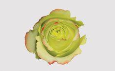 Zazu - Eden Roses - 2016