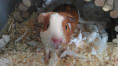 child guinea pig