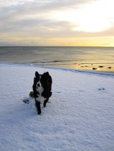 Asha the border collie at the first Snow of Spring...