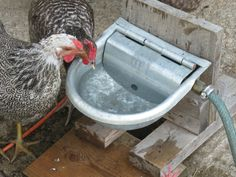 Save Your Back And Your Money: Make An Automatic Waterer For Your Free Ranging…