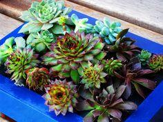 Resultados da Pesquisa de imagens do Google para http://www.readymade.com/file_uploads/7670/succulents__large.jpg