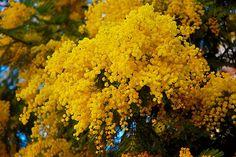 Poemas del río Wang: El aromo