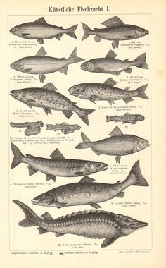 1896 Aquaculture Fishes Grayling White Fish Lake Trout