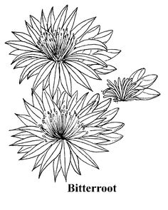 images of montana state flowers coloring pages - Google Search