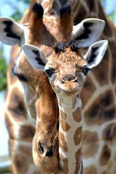 <3 girafes
