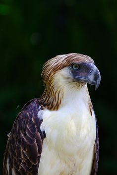 Birds of Prey - The Philippine Eagle