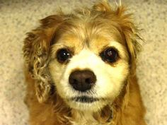 SAFE---Pulled by Abandoned Angels Cocker Spaniel Rescue SUPER URGENT 2/2/15 Manhattan Center CHANEL - A1026972 I am an unaltered female, tan Cocker Spaniel. The shelter staff think I am about 10 years old. I was found in NY 10029. I have been at the shelter since Feb 01, 2015. https://www.facebook.com/Urgentdeathrowdogs/photos/a.617942388218644.1073741870.152876678058553/955180304494849/?type=3&theater