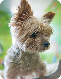 New York, NY - *Lovely Senior* Yorkie, Yorkshire Terrier Mix. Meet Rosie a Dog for Adoption.