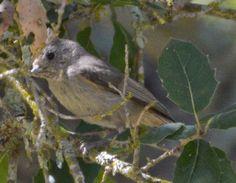 Oak Titmouse - First ID'd 04/18/2015 in Murrieta, CA