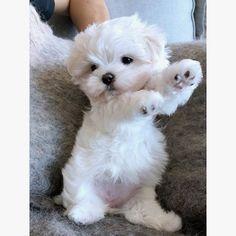 - ~*~Malteser Hunde~*~ - Home Baby Animals Super Cute, Super Cute Puppies, Cute Animals Puppies, Cute Little Puppies, Cute Little Animals, Cute Dogs And Puppies, Cute Funny Animals, Baby Dogs, Cute Cats