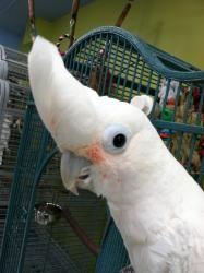 Abigail is an adoptable Cockatoo Parrot in Fayetteville, GA. Miss Vicki's Parrot Village, Inc. is located in Fayetteville, GA, about 15 miles south of Atlanta, just minutes off I-85. Abigail is a 10+ ...