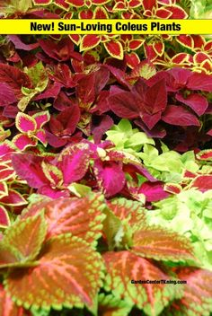 """Coleus plants are known for their extravagant, colorful foliage and ability to bring life to the shade garden. Now there are """"sun-loving"""" coleus plants, introduced by Simply Beautiful! I ..."""