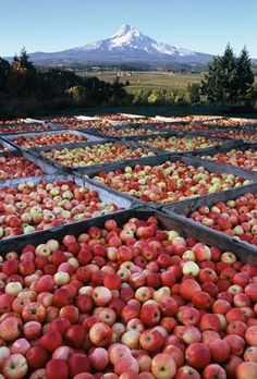 Apple harvest in the Hood River Valley, Oregon. The famous Hood River Valley, where the nation's finest apples and pears are grown. State Of Oregon, Oregon Trail, Oregon Coast, Portland Oregon, Oregon Usa, Hood River Fruit Loop, The Places Youll Go, Places To See, Oregon Living